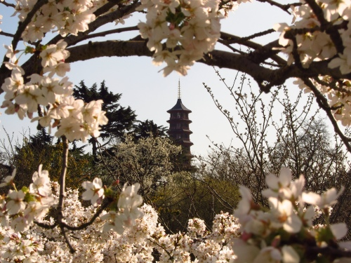photo: Pagoda and Cherry Blossoms at Kew Gardens by Laura Nolte